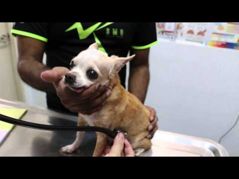 A 16-year-old Chihuahua keeps coughing