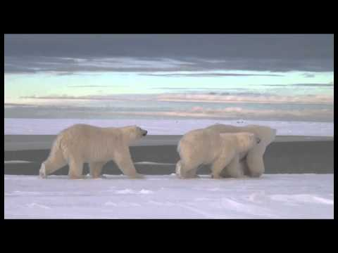 Alaska Polar Bears Photo Tour
