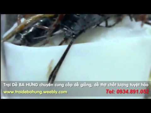 Cận cảnh dế đẻ trứng - Trại Dế BA HƯNG - www.traidebahung.com.vn