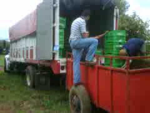 Hass Avocado Goroda Imports – Uruapan Michoacan Mexico