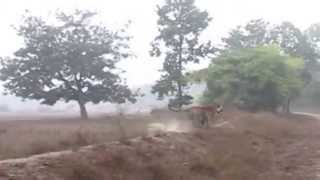 Bandhavgarh India  City new picture : Male tiger charging to vehicle in Bandhavgarh(India) - Latest Video