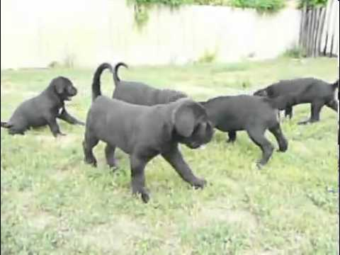 Shadow of the Monster Cane Corso Brill for Sale