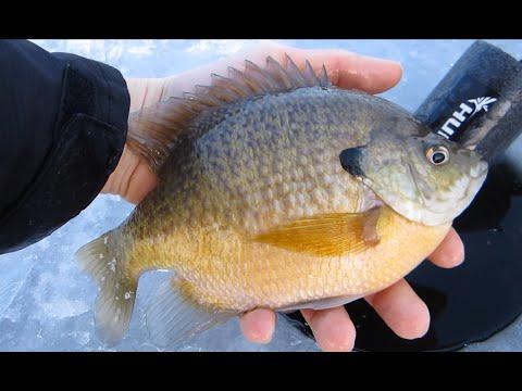 Michigan Ice fishing monster Bluegills