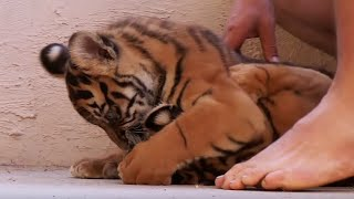 Nonton Living With Tiger Cubs   Tigers About The House   Bbc Film Subtitle Indonesia Streaming Movie Download