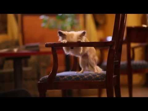 chihuahua: amazing tricks!