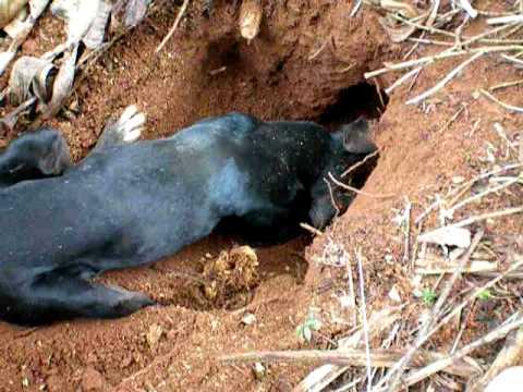 Cachorro Pavão Caçando Rato em cafezal.MOV