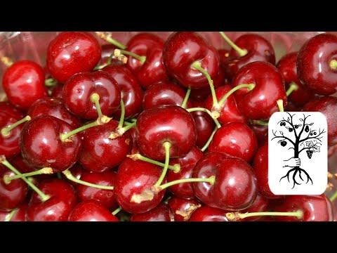 Super schlanken Kirschbaum schneiden:Kirschen Säulenb ...