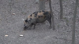 Hog Hunting Texas, Daytime Calico Feral Hog