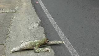 Why does a three-toed sloth cross the road? To climb a tree and eat leaves! This is a sloth attempting to cross a busy road in...
