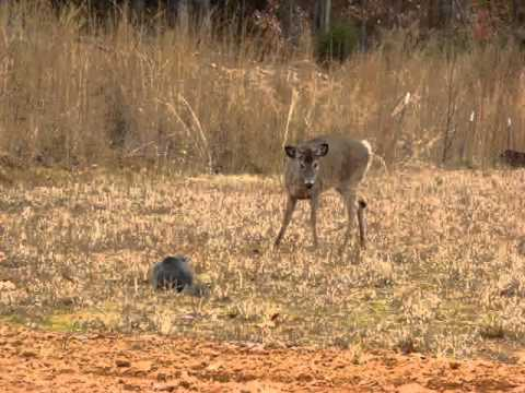 Video Cat chases deer away download in MP3, 3GP, MP4, WEBM, AVI, FLV January 2017