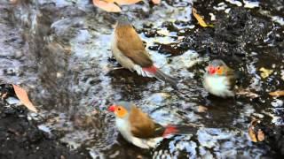 Scottsdale Australia  city pictures gallery : Butterfly Wonderland, Scottsdale, AZ - Gouldian Finch