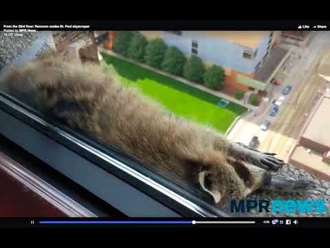 Raccoon scales skyscraper climbs 22 stories high in St Paul Minnesota