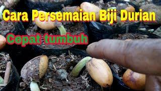 Video Cara Persemaian biji durian agar cepat tumbuh MP3, 3GP, MP4, WEBM, AVI, FLV September 2018