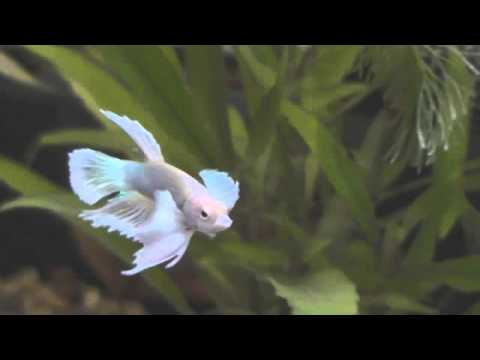 Dumbo Hmpk Betta fish  (crazy boy wont keep still !)