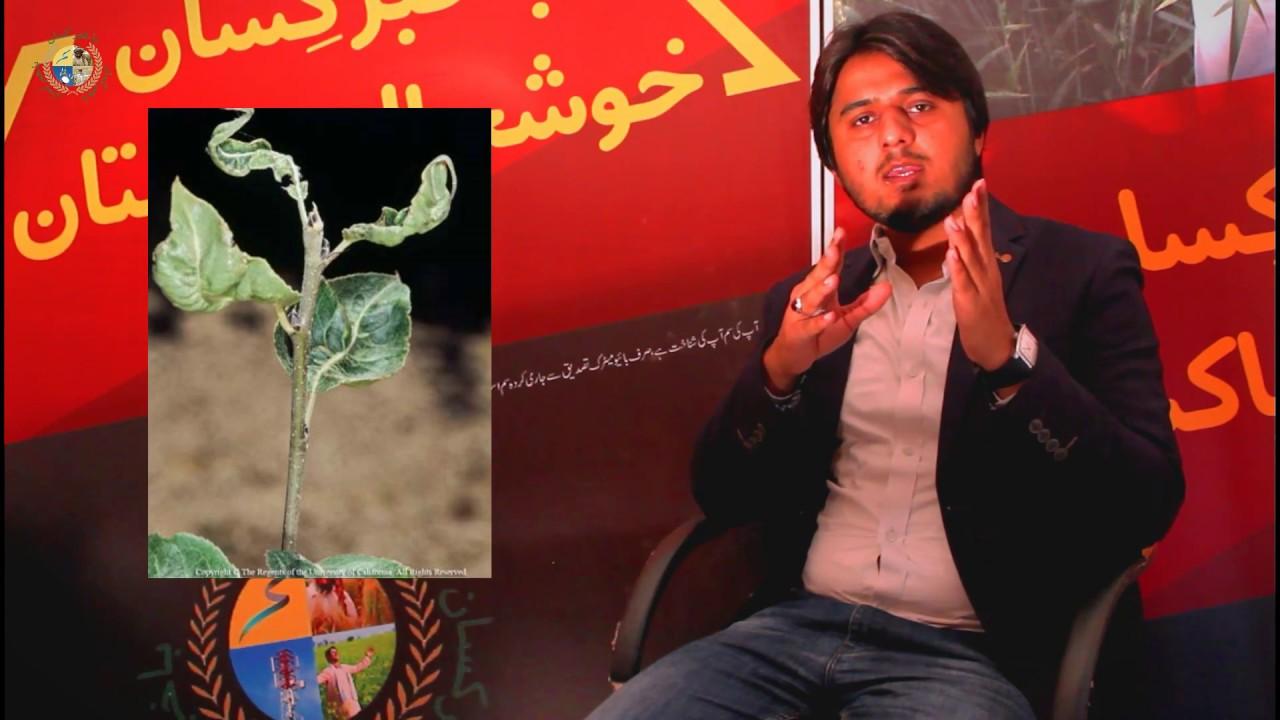 Iron and Boron Deficieny (Plant Disorder) | Bakhabar Kissan فصلوں میں آئرن اور بوران کی کمی