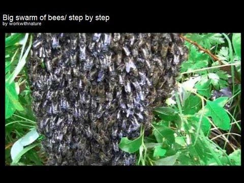 Big swarm of bees/ step by step