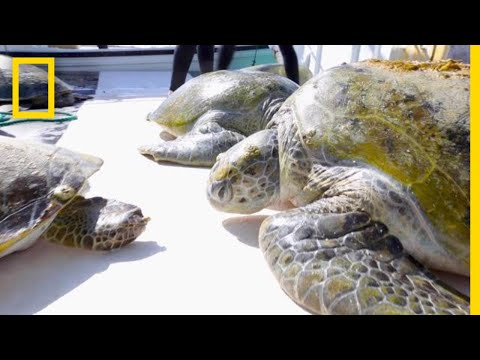 Mysterious Green Sea Turtles in the Persian Gulf Tracked By Scientists | National Geographic