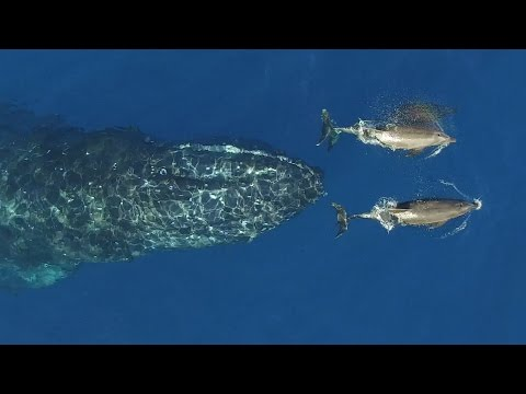 Humpback Calf plays with Dolphins in Revillagigedo Islands