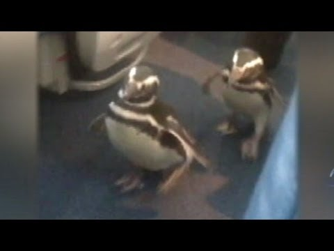 Funny Animal Videos: Penguins Fly First Class to Discovery Channel's 'Frozen Planet' premiere.