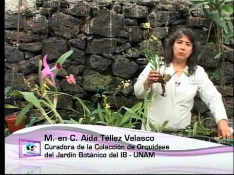 Cómo cultivar una orquidea