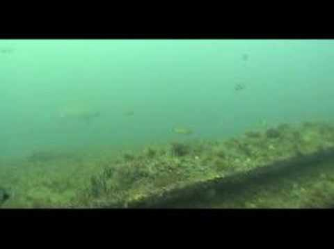 Tiburones en el pecio Markham