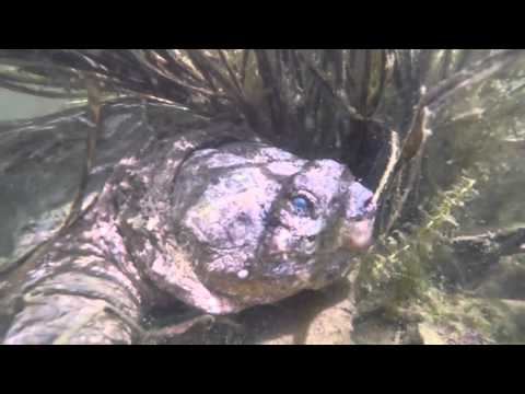 Underwater Snapping Turtle