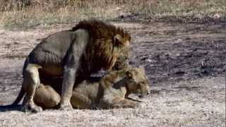 Video Lions mating - Possibly the best video record on YouTube of Mating Lions. MP3, 3GP, MP4, WEBM, AVI, FLV April 2019