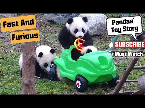 Pandas Try To Be Fast And Furious! | iPanda