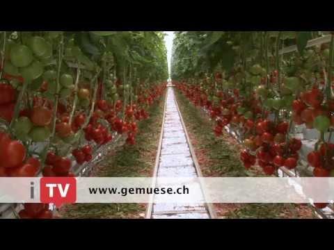 tomaten ausgeizen pflegen seitentriebe ausbrechen. Black Bedroom Furniture Sets. Home Design Ideas