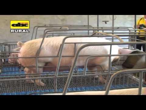 Recomendaciones para iniciarse en la cría de cerdos