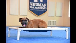 Stella (Boxer) graduated from the dog training boot camp at Neuman K-9 Academy. This program included obedience commands to sit, stay, heel or walk on a loose leash, come when called, proper etiquette, no jumping up, meeting and greeting people under control, and running on a treadmill.Our dog training camp provides programs for Boxer such as boot camp, obedience training, and puppy camp.Neuman K-9 Academy is a professional canine training school that provides board and train (inboard) for dogs, and fully trained dogs for sale.For more information visit: www.mndogtraining.comLocated in Hugo Minnesota just north of Minneapolis and St. Paul (MN).