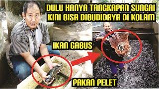 Video LANGKA!! Budidaya Ribuan Ikan Gabus Di Kolam Dengan Pakan Pelet | Budidaya Ikan Gabus Part 1 MP3, 3GP, MP4, WEBM, AVI, FLV Maret 2019