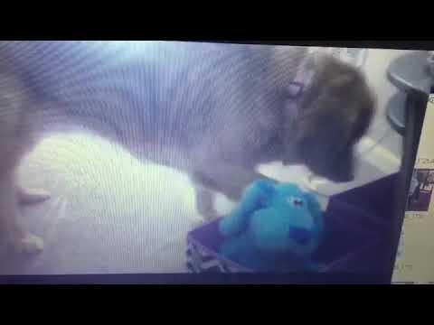 Chloe toy (видео)