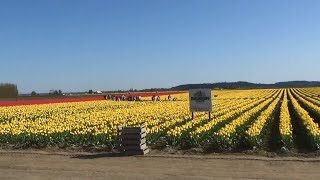 Mount Vernon (WA) United States  city photo : 2014 Skagit Valley Tulip Festival Flower Tour in Mount Vernon, WA