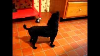 CUTE Toy Poodle Howls Wags Tail FUNNY