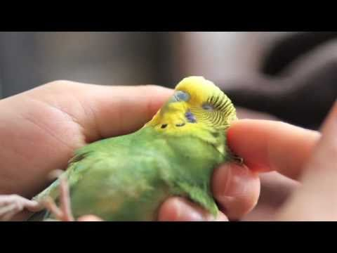 parakeet - This is a story of our very special pet budgie (parakeet), Boo. She was injured when she was a year old, and permanently lost the use of her legs - but that ...
