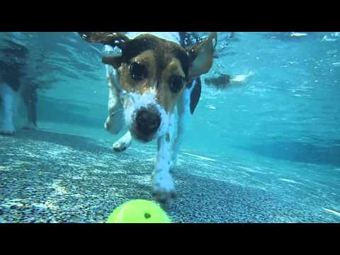beagle bentley dives underwater in swimming pool for tennis ball