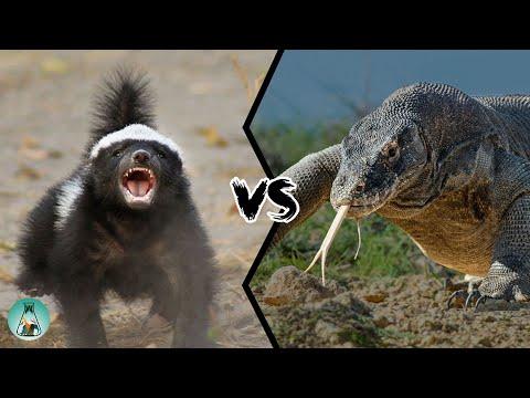 HONEY BADGER VS KOMODO DRAGON - Who will win this battle?