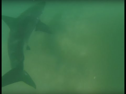 Surfer watches GoPro footage only to find he swam 3 feet above Great White shark without realising