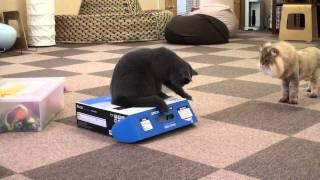 Śmieszne Koty - Kot Lew.mp4