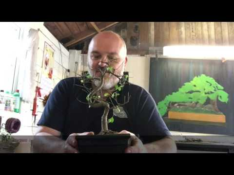 Chinese Elm Disaster Recovery