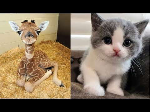 Video Cute baby animals Videos Compilation cute moment of the animals - Soo Cute! #23 download in MP3, 3GP, MP4, WEBM, AVI, FLV January 2017