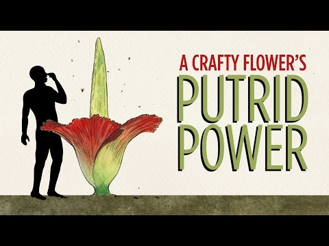 The Stink Of The Corpse Flower, Explained  | Good Question | Skunk Bear