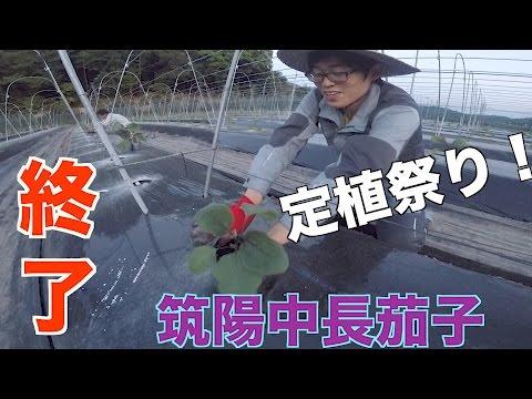筑陽茄子定植!!#79