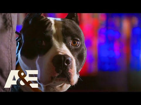 Wolverine the Pit Bull Terrier LEAPS On to Round 2 | America's Top Dog (Season 1) | A&E