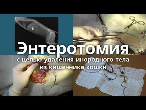 Энтеротомия с целью удаления инородного тела из кишечника кошки. Enterotomy