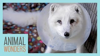 Another Surgery For Cas The Fox by Animal Wonders