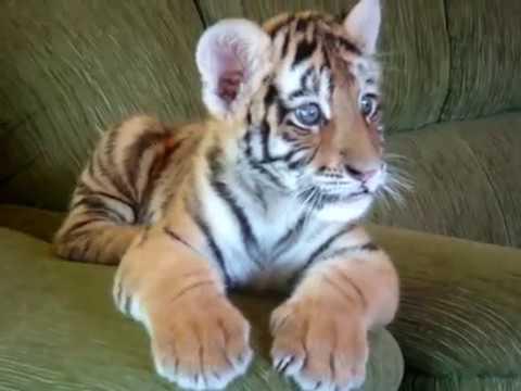 Tiger cub playing with a dog – II (Tigrinho brincando com cão)