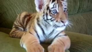Tiger Cub Playing With A Dog - The Cuteness Is Unbearable...