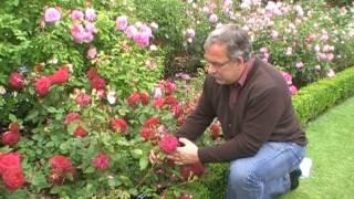 #127 Die Englische Rose Munstead Wood
